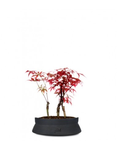 Acero rosso boschetto S