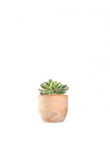 Aeonium arboreum variegata
