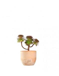 Aeonium Purpureum