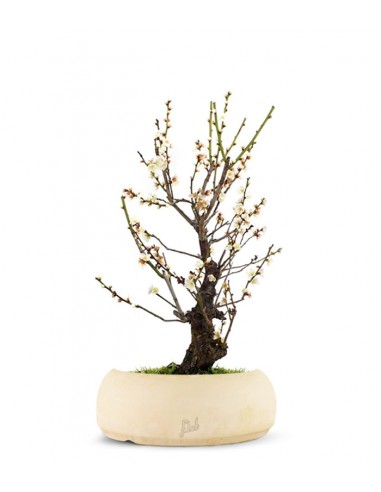 Albicocco giapponese Bianco