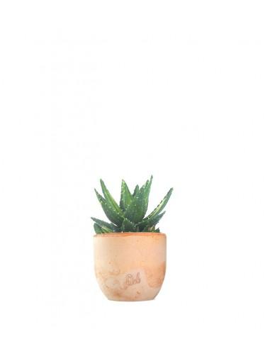 Aloe mitriformis Variegata