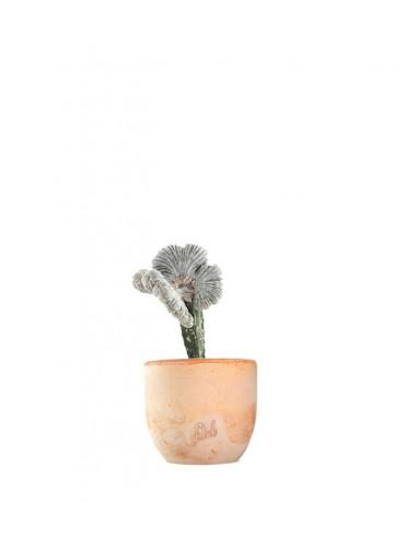 Astrophytum coahuilense crestato