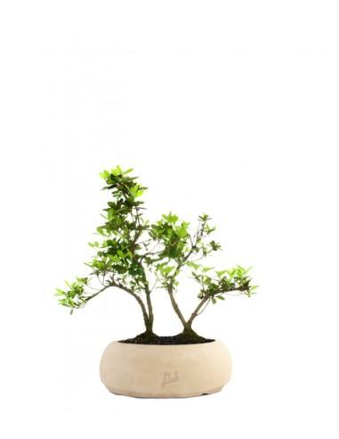 Azalea boschetto