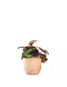 Begonia Rex tricolore