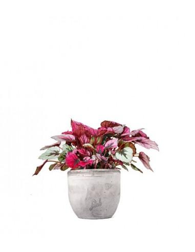 Begonia Rex Viola