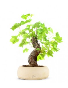 Bonsai Vite