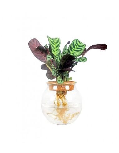 Calathea idroponica in vetro sfera