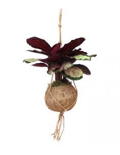 Calathea in fibra di cocco