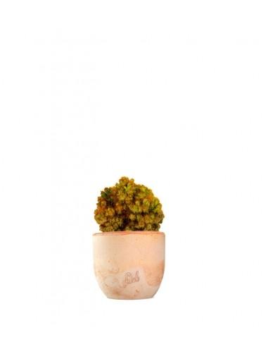 Cereus peruviano monstruoso