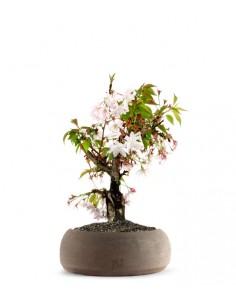 Ciliegio Giapponese Bonsai