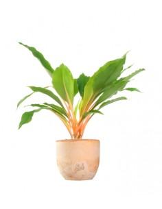 Clorofito amaniense arancione