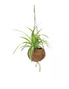 Clorofito in fibra di cocco
