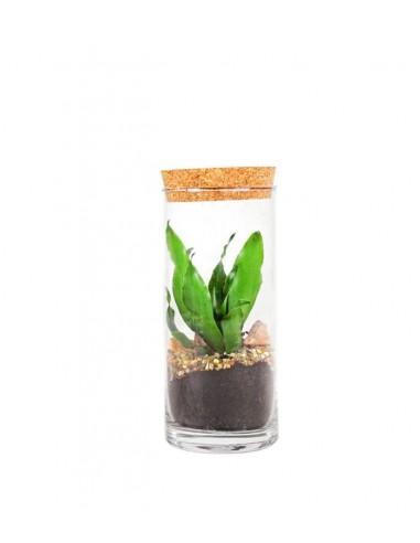 Dracena in terrarium