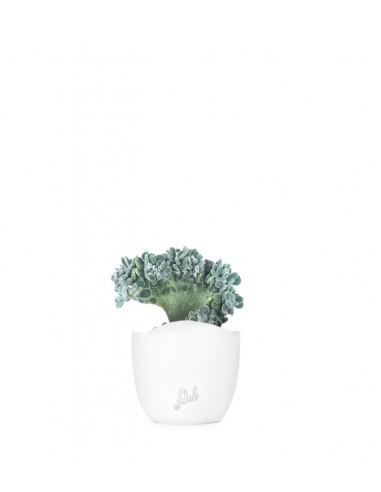 Echeveria frosty crestata