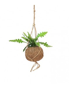 Epiphyllum anguliger in...
