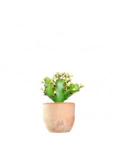 Euphorbia Mayuranathani