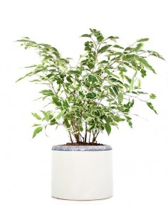 Ficus Beniamino idrocoltura