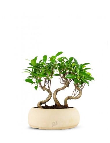 Ficus Boschetto M