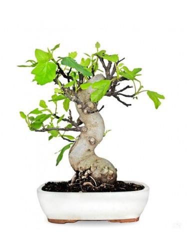 Ficus Carica (Fico) esemplare 24 anni