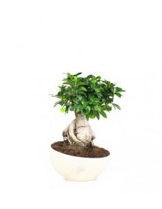 Ficus ginseng vaso ciotola...