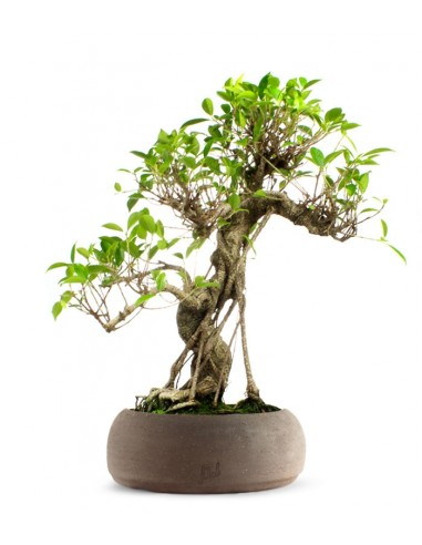 Ficus Retusa XL