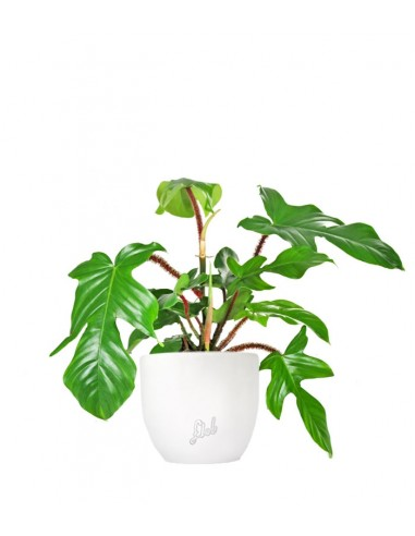 Filodendro squamiferum