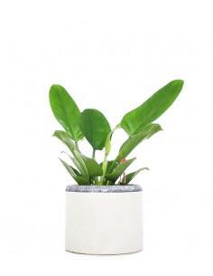 Filodendro verde idrocoltura