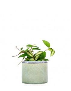 Hoya carnosa variegata...