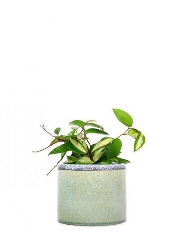 Hoya carnosa variegata idrocoltura