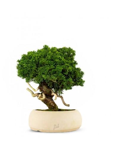 Juniperus chinensis Itoigawa