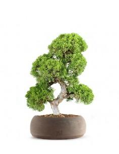 Juniperus chinensis Itoigawa L