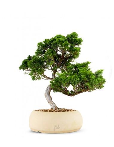 Juniperus chinensis Itoigawa M