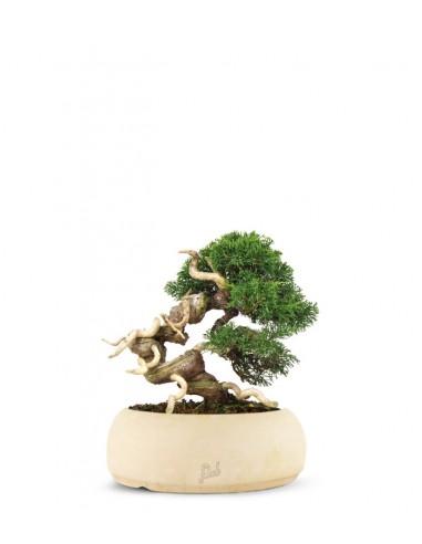 Juniperus Giapponese
