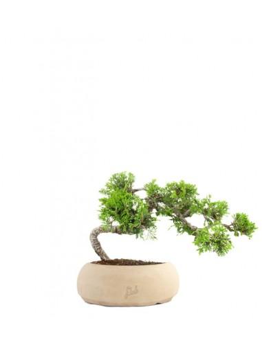 Juniperus Itoigawa semi cascata
