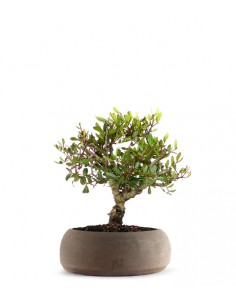 Lentisco alberello Bonsai