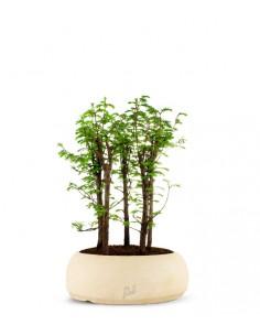 Metasequoia Boschetto L