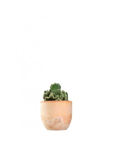 Opuntia cilindrica crestata