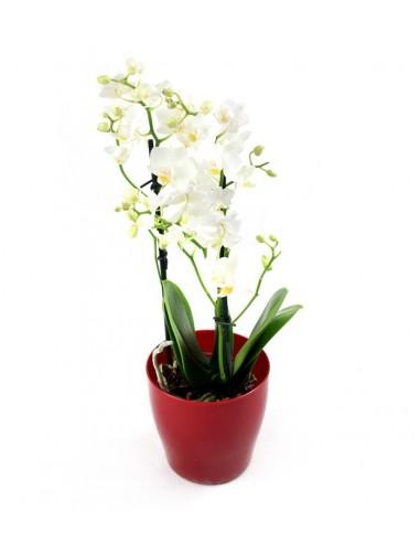 Orchidea Bianca vaso rosso