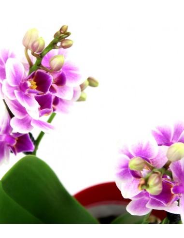 Orchidea rosa vaso rosso