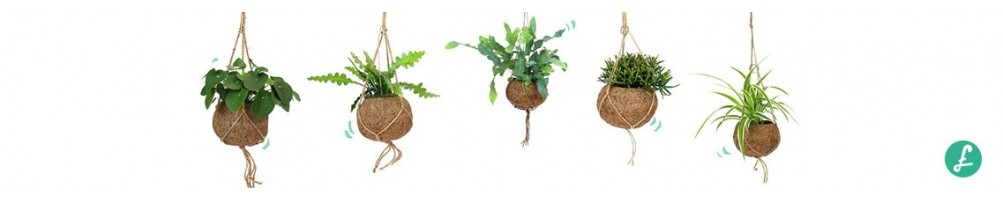 Hanging plants: the best news of the moment can be found on Flob!