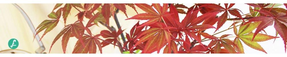 Aceri bonsai in vendita online| Di tutti gli stili e misure
