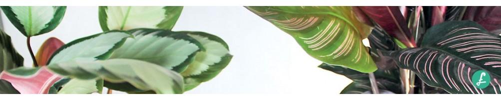 Tutte le varietà di Calathea in vendita online, dalla più comune alla più rara