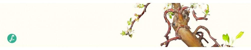 Esemplari unici di Bonsai, foto aggiornate con dettagli. Compra Bonsai Online