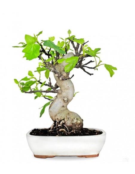 Bonsai Esemplare