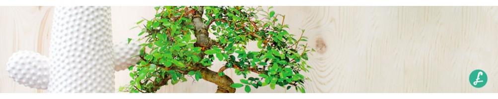 Bonsai indoor - Assortimento di bonsai da interno per il tuo angolo green!