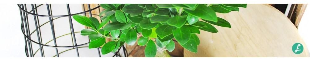 Ficus Ginseng Bonsai! Buy your bonsai now! Shipping in main european country