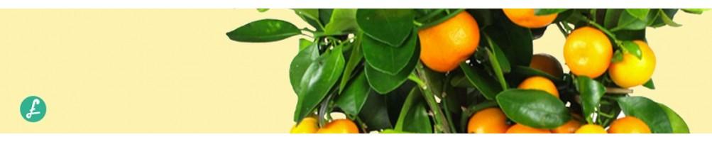 Piante di agrumi - Vendita agrumi con ampia scelta e differenti misure