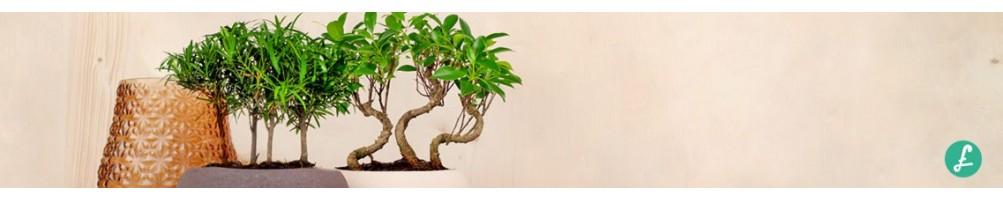 Bonsai boschetto! Ampia selezione di bonsai a boschetto! Vendita Online
