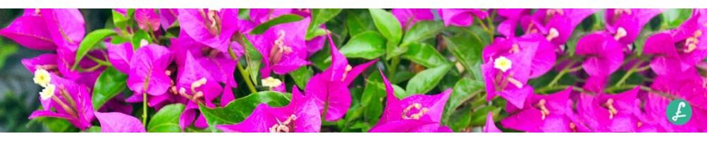Bouganvillea online! Selezione di piante in ampie misure