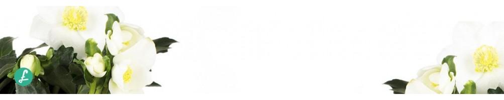 """Helleborus, """"Rosa di Natale"""" Vendita online ampia selezione misure"""
